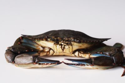 a blue crab before being prepared for babies starting solids